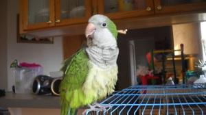 Captain Flint the sewing parrot.